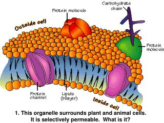 1. This organelle surrounds plant and animal cells.  It  is selectively  permeable.  What is it?
