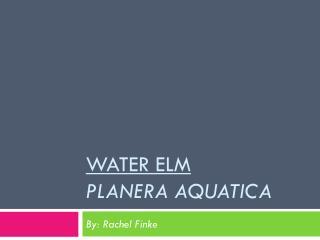 Water Elm Planera Aquatica