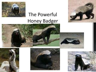 The Powerful Honey Badger