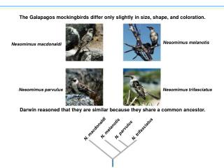 The Galapagos mockingbirds differ only slightly in size, shape, and coloration.