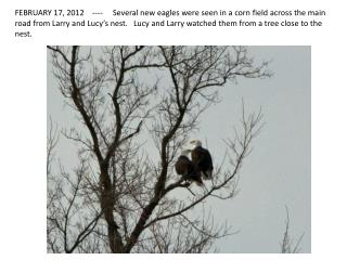 We counted 8 eagles. Four were on the ground, the others were in trees or flying around.