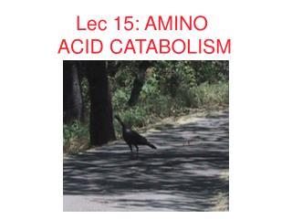 Lec 15: AMINO  ACID CATABOLISM