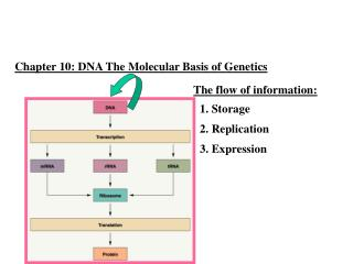 Chapter 10: DNA The  Molecular Basis of  Genetics