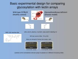 Basic experimental design for comparing glycosylation with  lectin  arrays