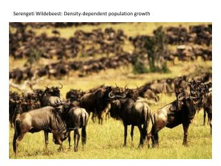 Serengeti Wildebeest: Density-dependent population growth