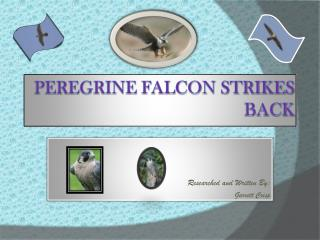 Peregrine Falcon strikes 				back