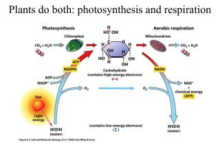 Plants do both: photosynthesis and respiration