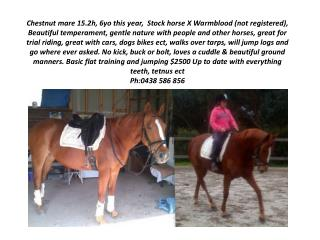 Chestnut mare 15.2h, 6yo this year,  Stock horse X  Warmblood  (not registered),