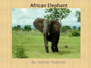 A frican Elephant