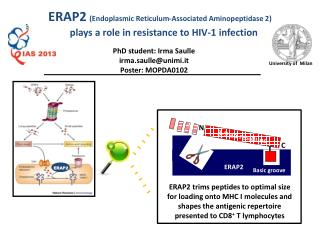 ERAP2 (Endoplasmic Reticulum-Associated Aminopeptidase 2)
