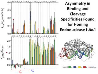 Asymmetry in Binding and Cleavage Specificities Found for Homing  Endonuclease  I- Ani I