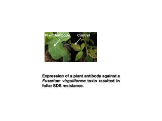 Plant Antibody
