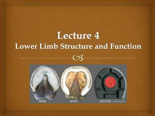 Lecture 4 Lower Limb Structure and Function