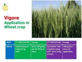 Vigore  Application in  Wheat crop