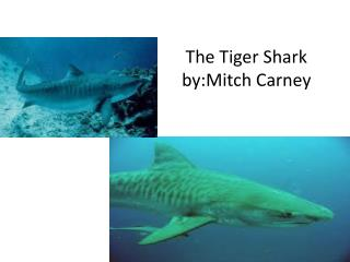 The Tiger Shark by:Mitch  Carney