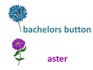 b achelors button