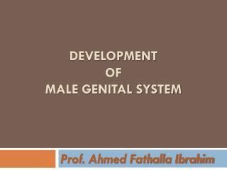 Development  of  male genital system
