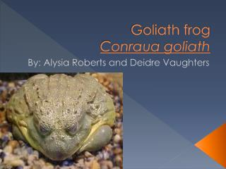 Goliath frog Conraua  goliath
