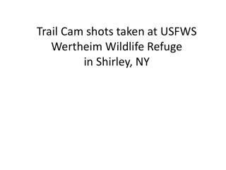 Trail Cam shots taken at USFWS Wertheim Wildlife Refuge  in Shirley, NY