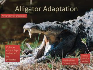 Alligator Adaptation