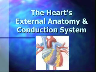 The Heart s  External Anatomy  Conduction System