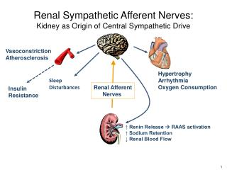 Renal Sympathetic Afferent Nerves: Kidney as Origin of Central Sympathetic Drive