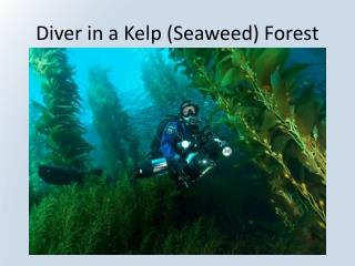 Diver in a Kelp (Seaweed) Forest
