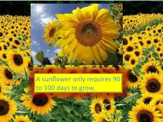 A  sunflower only requires 90 to 100 days to grow.