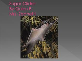 Sugar Glider  By  Quinn  B.  Mrs.  Zoanetti