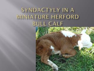 Syndactyly  in a miniature Herford bull calf