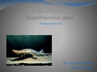 Pallid Sturgeon Scaphirhynchus albus