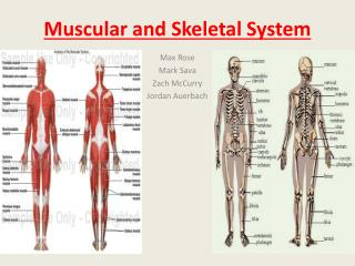 Muscular and Skeletal System