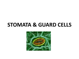 STOMATA & GUARD CELLS