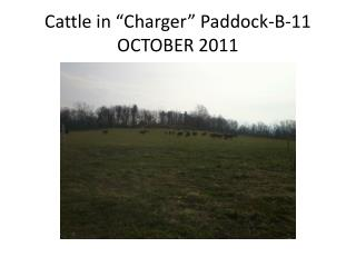 "Cattle in ""Charger"" Paddock-B-11  OCTOBER 2011"