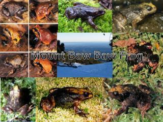 Mount Baw Baw Frog