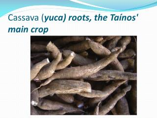 Cassava ( yuca ) roots, the  Taínos ' main crop