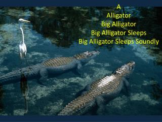 A Alligator Big Alligator Big Alligator Sleeps Big Alligator Sleeps Soundly