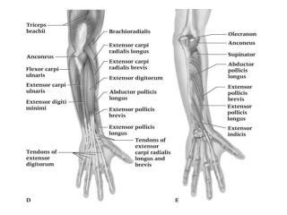 12 muscles 1.   Anconeus 2.  Brachioradialis (BR)
