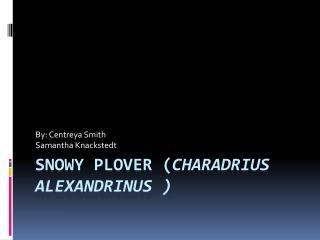 Snowy Plover ( Charadrius  alexandrinus )