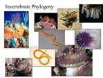 Invertebrate Phylogeny