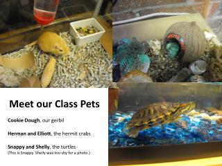 Meet our Class Pets Cookie Dough , our gerbil Herman and Elliott , the hermit crabs