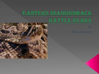 Eastern Diamondback Rattle Snake