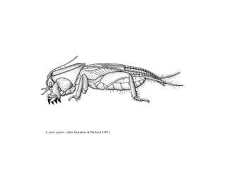 A mole cricket. After Eisenbeis  Wichard 1987.