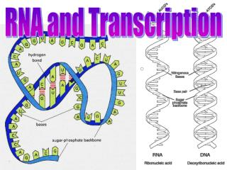 RNA and Transcription