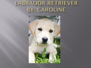 Labrador Retriever   By: Caroline