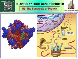 B)- The Synthesis of Protein