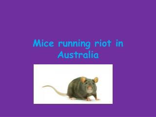 Mice running riot in Australia