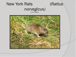 New York Rats                ( Rattus norvegicus) by: Erik Pedersen
