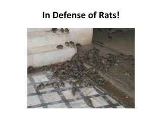 In Defense of Rats !
