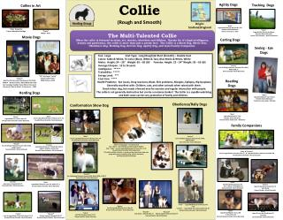 Collie (Rough and Smooth)